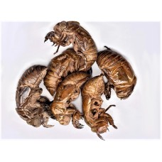 Chan Tui (Cicada Molting) - sold by the pound choose either medium grade or highest quality